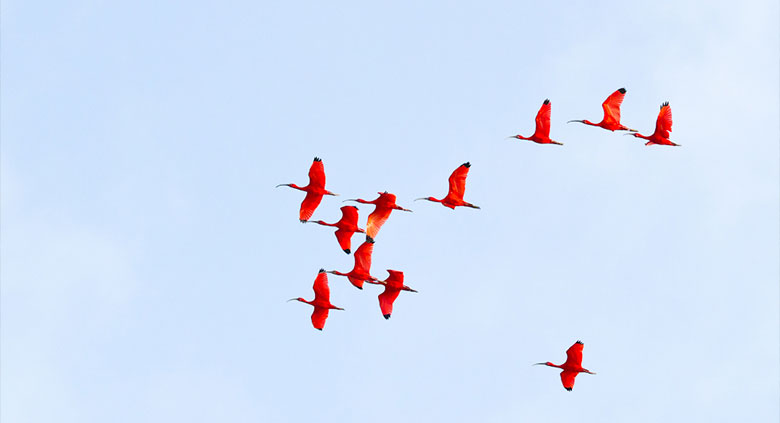 ibis-rouge-2