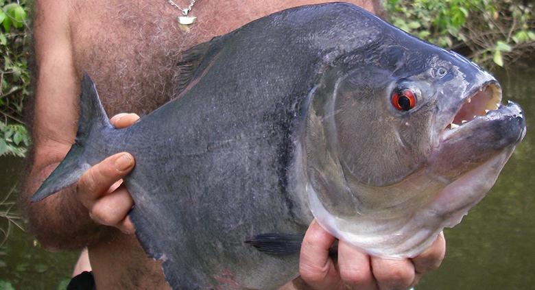 peche-piranha-2-6-3