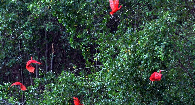 morpho-ibis-2
