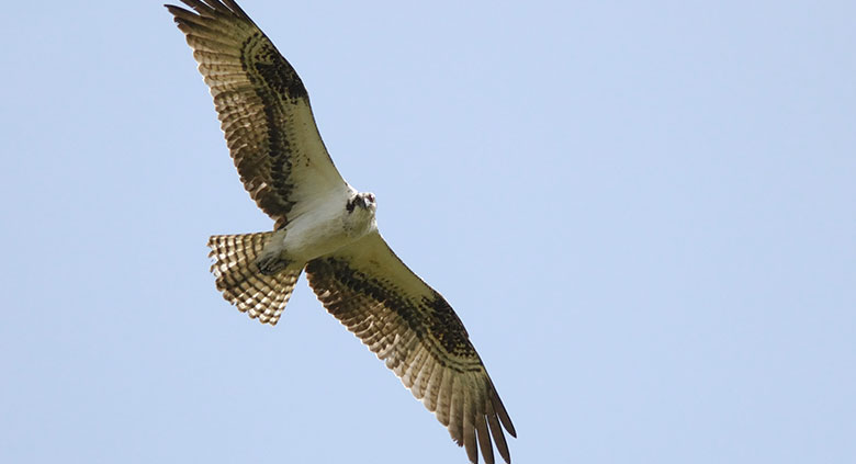 morpho-ibis-5